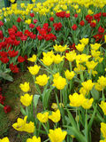 Tulips yellow and red colors. Beautiful garden of colorful tulips on the lawn stock images