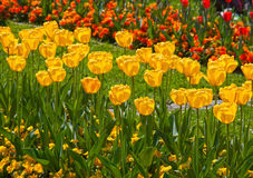 Tulips yellow and red Stock Images