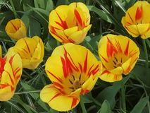 Tulips yellow and red from Holland from Keukenhof. Tulips keukenhof holland yel yell yello yellow red royalty free stock photos