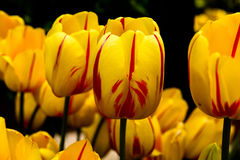 Tulips in Yellow with Red Stripes Royalty Free Stock Images
