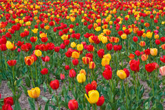 Tulips yes tulips Royalty Free Stock Photo