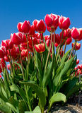Tulips011 Photos libres de droits