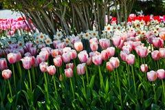 TulipsFlowers cor-de-rosa Skagit Washington imagem de stock
