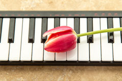 Tulips on keyboard Royalty Free Stock Photography
