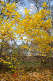 Tuliptree with yellow leaves in autumn park Royalty Free Stock Photos