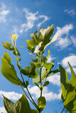 Tulipwood tree leaves against the sky Stock Photography
