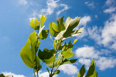 Tulipwood tree leaves against the sky Royalty Free Stock Photo