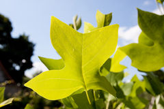 Tulipwood tree leaves against the sky Royalty Free Stock Images