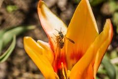 Tullip. Macro yellow tullip gro in my garden Stock Photos