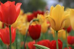 Tullips в саде Стоковое Изображение