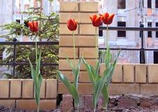 Tulp 3 Stock Afbeeldingen