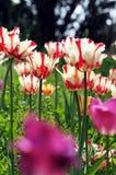 Tulp Royalty-vrije Stock Afbeelding