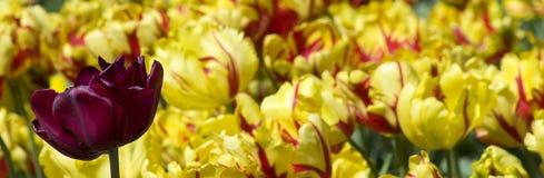 Tulp Royalty-vrije Stock Foto