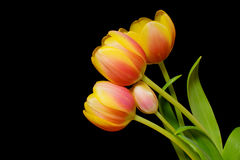 Tulp Royalty-vrije Stock Fotografie