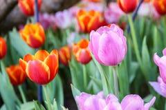 Tulp Royalty-vrije Stock Afbeeldingen