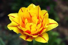 Tulp. Royalty-vrije Stock Fotografie