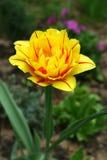 Tulp. Royalty-vrije Stock Afbeeldingen