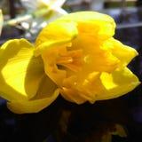 Tulp Royalty-vrije Stock Foto's