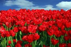 Tulp bij de lente stock afbeeldingen