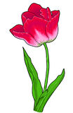 Tulp, bloem royalty-vrije stock foto