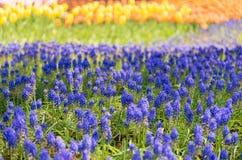 Tulp, Bloemgebied Stock Afbeelding
