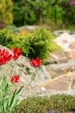 Tulp in botanisch aan een tuin royalty-vrije stock afbeeldingen