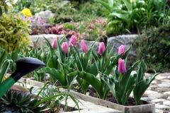 Tulp in de bloempot Stock Foto's