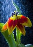 Tulp in de regen Royalty-vrije Stock Foto's