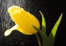 Tulp in de regen Royalty-vrije Stock Afbeeldingen