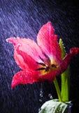 Tulp in de regen Royalty-vrije Stock Fotografie