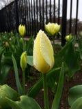 Tulp in de regen Stock Afbeeldingen