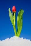 Tulp in de sneeuw Stock Foto