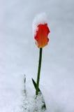Tulp in de Sneeuw royalty-vrije stock foto