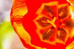 Tulp in de tuin Stock Afbeeldingen