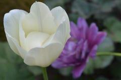 Tulp in de tuin, Finland Royalty-vrije Stock Afbeelding