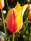Tulp in de Zon Stock Foto's