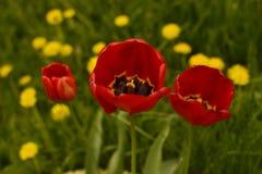 Tulp door paardebloemen wordt omringd die Royalty-vrije Stock Fotografie