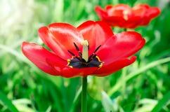 Tulp in een tuin Stock Fotografie