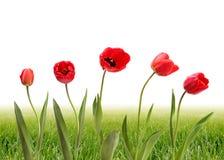 Tulp en groen gras stock afbeeldingen