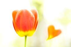 Tulp en hart Stock Afbeeldingen
