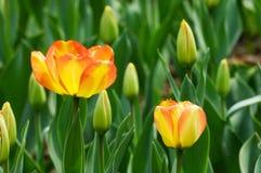 Tulp en knop stock afbeeldingen