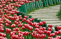 Tulp en weg Royalty-vrije Stock Foto