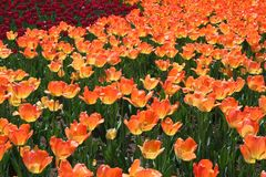 Tulp in Gatineau Canada, Noord-Amerika stock afbeeldingen