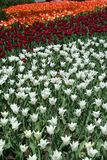 Tulp in Gatineau Canada, Noord-Amerika Royalty-vrije Stock Afbeelding