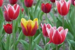 Tulp het bloeien close-up Stock Afbeeldingen