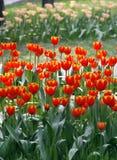 Tulp in het kinderdagverblijf. royalty-vrije stock foto's