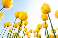 Tulp in het zonlicht royalty-vrije stock foto's