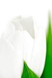 Tulp, macro Royalty-vrije Stock Foto's