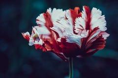 Tulp, macrofotografie Stock Afbeeldingen