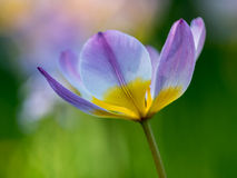 Tulp met het vertroebelen van achtergrond Royalty-vrije Stock Afbeeldingen